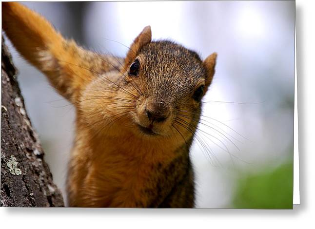 Fox Squirrel Greeting Cards - Curious Squirrel Greeting Card by Austin Robertson