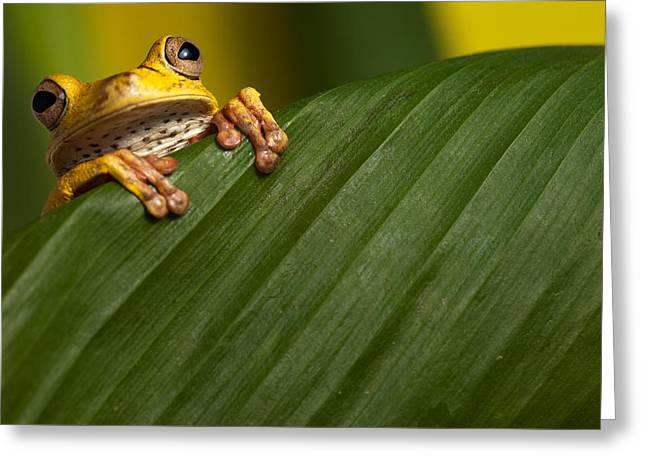 Tree Frog Greeting Cards - Curious Tree Frog Greeting Card by Dirk Ercken
