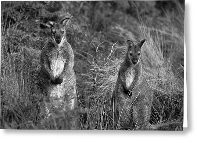 Sean Greeting Cards - Curious Wallabies Greeting Card by Sean Davey