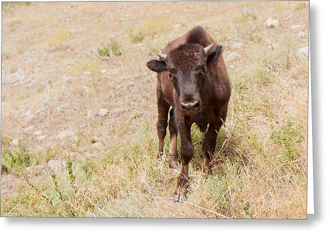 Youthful Greeting Cards - Curious Young Bison Greeting Card by John Bailey