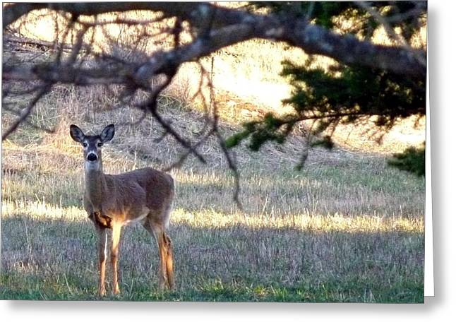 Cautious Greeting Cards - Curious Young Doe Greeting Card by Will Borden