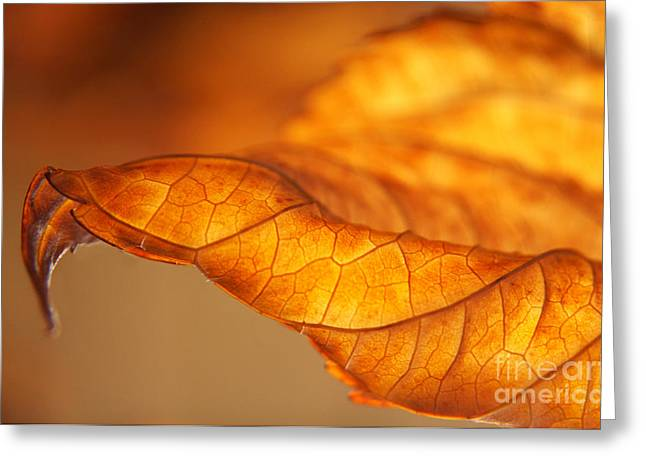 Curvy Beauty Greeting Cards - Curled Backlit Hydrangea Leaf Greeting Card by Anna Lisa Yoder