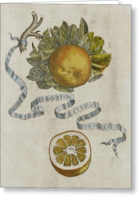 Halved Greeting Cards - Curled leaf orange Greeting Card by Cornelis Bloemaert
