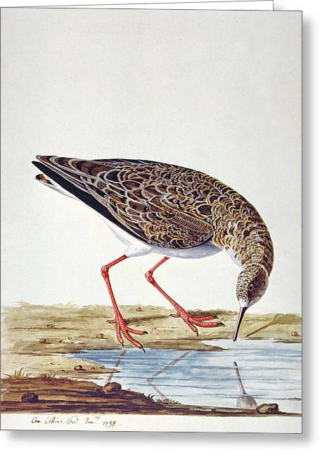 Texting Drawings Greeting Cards - Curlew Sandpiper Greeting Card by Charles Collins