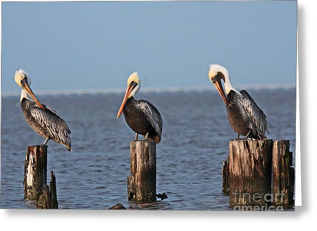 Bestfriend Greeting Cards - Curly Moe and Larry Pelicans Greeting Card by Luana K Perez