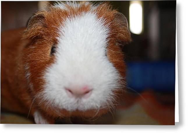 Curly The Guinea Pig Greeting Card by Victoria Roehrig