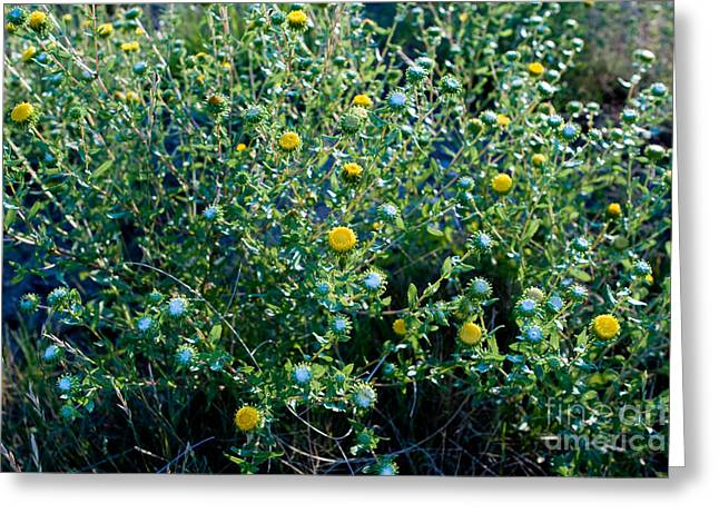 Squarrosa Greeting Cards - Curlycup Gumweed  Greeting Card by Jim Pruitt