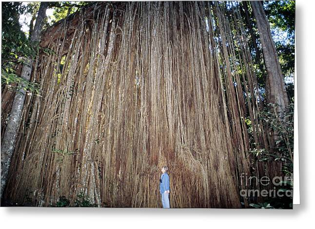 Strangler Fig Greeting Cards - Curtain Fig, Australia Greeting Card by Gregory G. Dimijian, M.D.