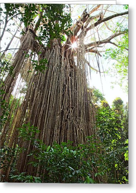 Strangler Fig Greeting Cards - Curtain Fig Tree  Greeting Card by Dirk Ercken