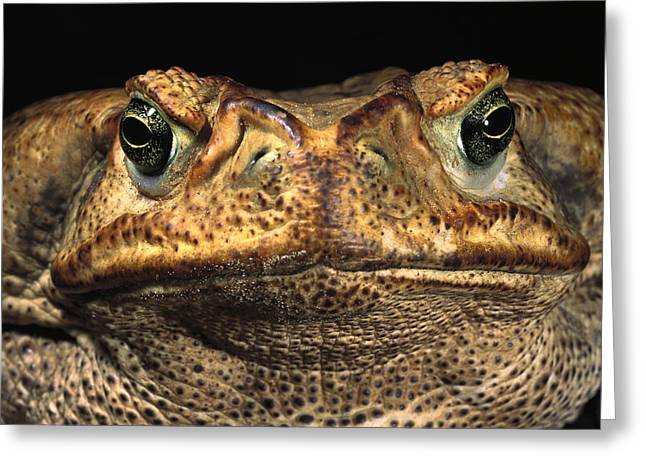 True Color Photograph Greeting Cards - Cururu Toad Face Brazil Greeting Card by Pete Oxford
