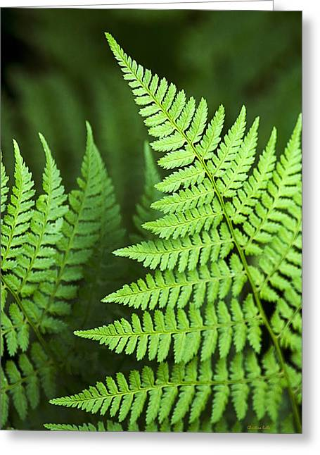 Ostrich Fern Greeting Cards - Curved Fern Leaf Art Greeting Card by Christina Rollo