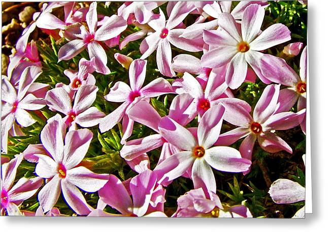 Cushion Greeting Cards - Cushion Phlox between Pima Point and Hermits Rest in Grand Canyon National Park-Arizona Greeting Card by Ruth Hager