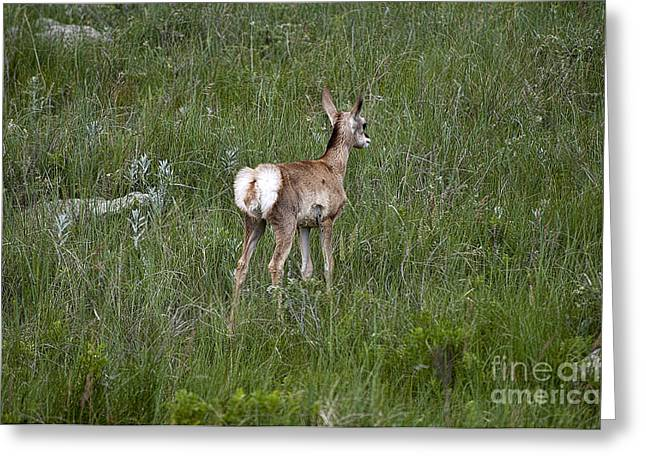 Little Big Horn Photographs Greeting Cards - Custer Pronghorn Greeting Card by Brenda Kean