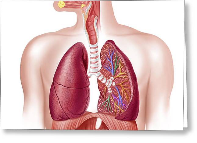 Cutaway Diagram Of Human Respiratory Greeting Card by Leonello Calvetti