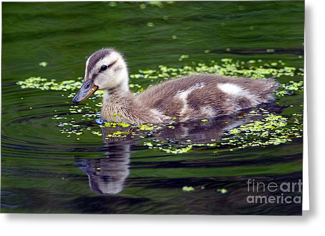 Baby Mallards Greeting Cards - Cute as a Button Greeting Card by Sharon  Talson