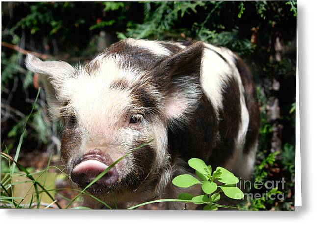 Hairy Pig Greeting Cards - Cute baby hairy piglet Greeting Card by Simon Bratt Photography LRPS