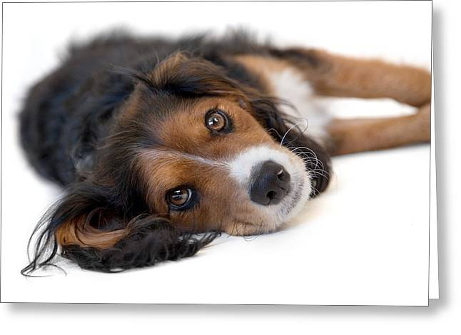 Endearing Greeting Cards - Cute Black Tan and White Pup Greeting Card by Natalie Kinnear