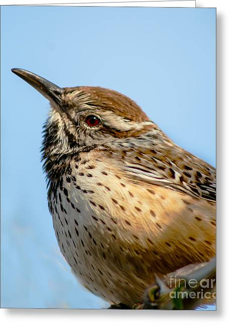 Back Yard Birds Greeting Cards - Cute Cactus Wren Greeting Card by Robert Bales