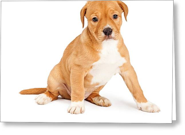 Mutts Greeting Cards - Cute Crossbreed Puppy Sitting Greeting Card by Susan  Schmitz
