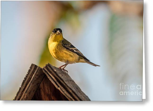 Olive Green Greeting Cards - Cute Finch Greeting Card by Robert Bales