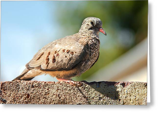 Haybale Greeting Cards - Cute Inca Dove Greeting Card by Robert Bales