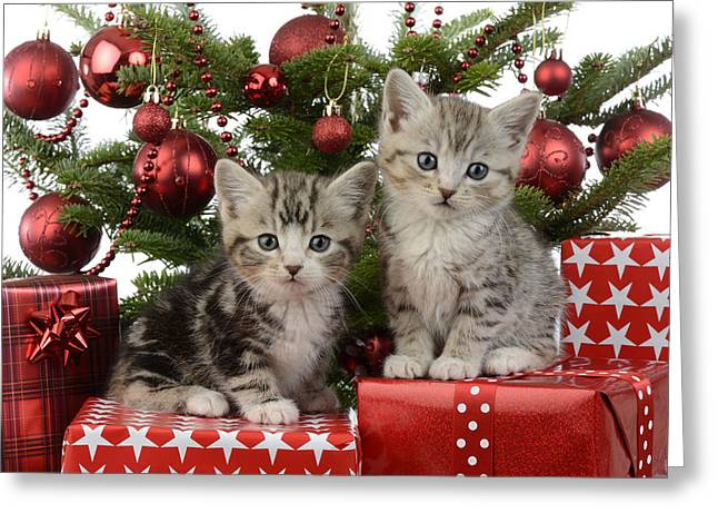 Christmas Eve Greeting Cards - Cute Kitten Xmas Presents Greeting Card by Greg Cuddiford