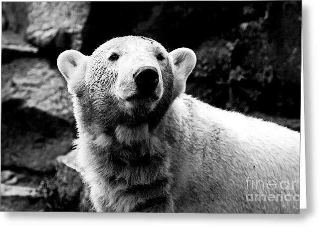 Berlin Germany Greeting Cards - Cute Knut Greeting Card by John Rizzuto