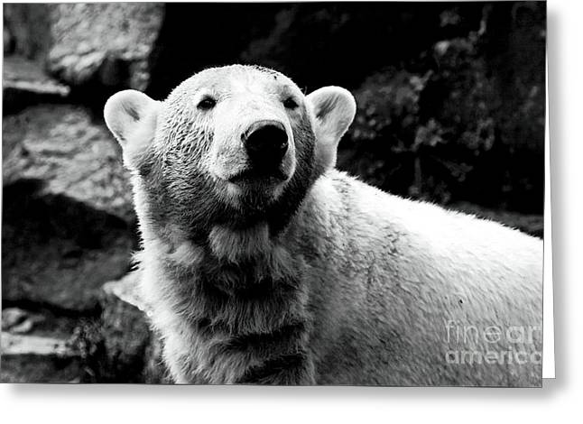 Cute Knut Greeting Card by John Rizzuto