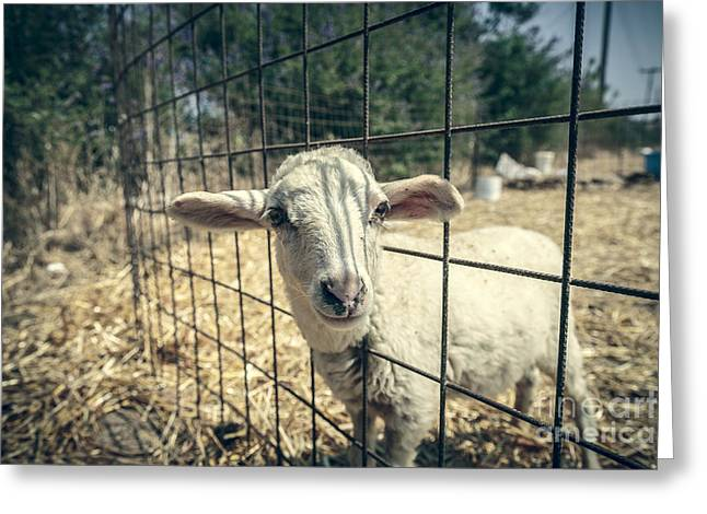 Naivety Greeting Cards - Cute Lamb Looking Through A Metal Fence Greeting Card by Armin Staudt