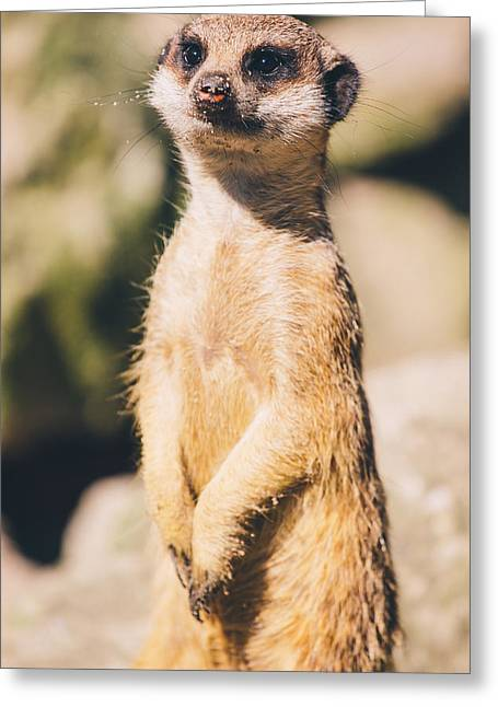 Cute Meerkat Portrait Greeting Card by Pati Photography