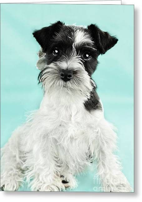 Cute Schnauzer Greeting Cards - Cute Parti Color Miniature Schnauzer Greeting Card by Stephanie Frey