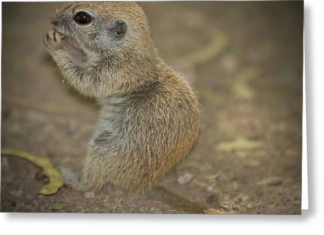 Cute Prairie Dog Greeting Card by Melanie Viola