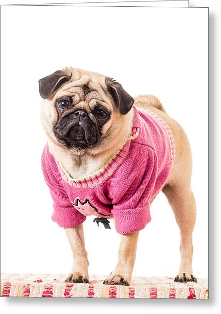 Humor Greeting Cards - Cute Pug wearing sweater Greeting Card by Edward Fielding