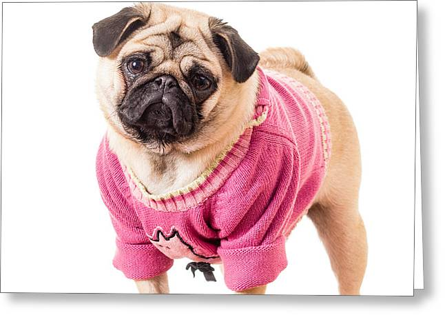 Cute Pug wearing sweater Greeting Card by Edward Fielding