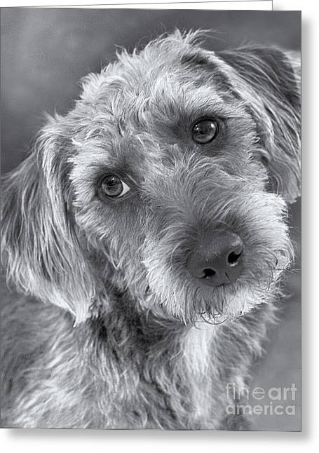 Gray Hair Greeting Cards - Cute Pup in Black and White Greeting Card by Natalie Kinnear
