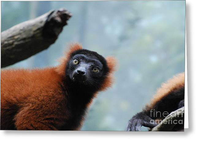 Red-ruffed Lemur Greeting Cards - Cute Red Ruffled Lemur Greeting Card by DejaVu Designs