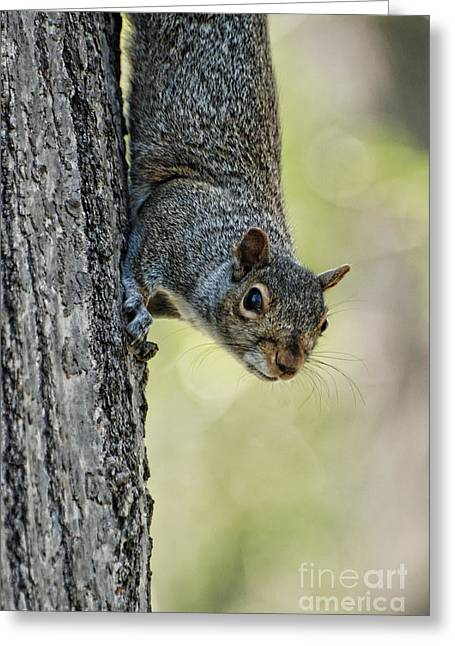 Gray Squirrel Greeting Cards - Cute Squirrel  Dare Me Greeting Card by Paul Ward