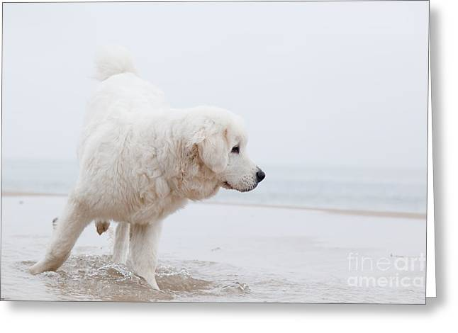 Dog Play Beach Greeting Cards - Cute white dog playing on the beach Greeting Card by Michal Bednarek