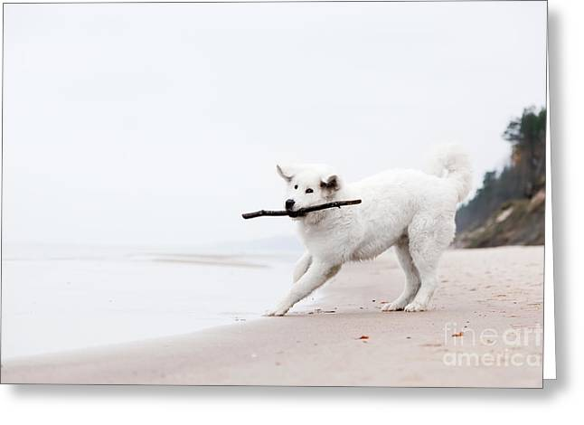 Dog Play Beach Greeting Cards - Cute white dog playing with stick on the beacholish Tatra Sheepdog Greeting Card by Michal Bednarek