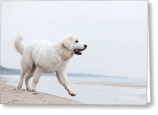 Dog Play Beach Greeting Cards - Cute white dog walking on the beach Greeting Card by Michal Bednarek