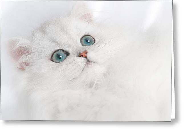 Playful Kitten Greeting Cards - Cute White Persian Kitten Greeting Card by David and Carol Kelly