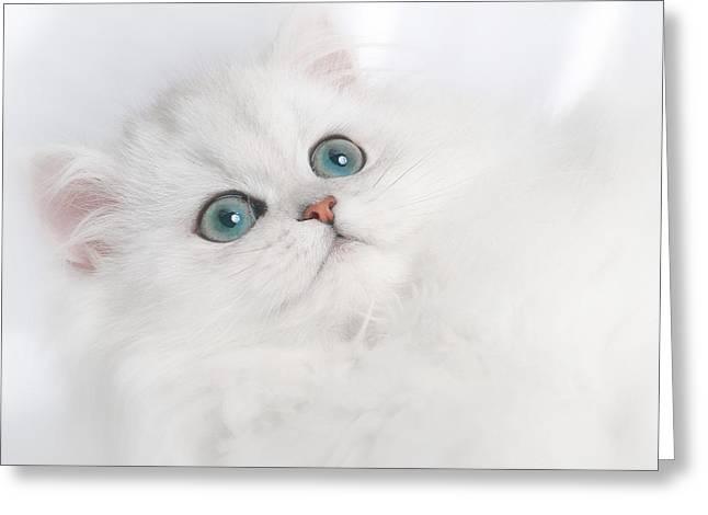Cute Kitten Greeting Cards - Cute White Persian Kitten Greeting Card by David and Carol Kelly