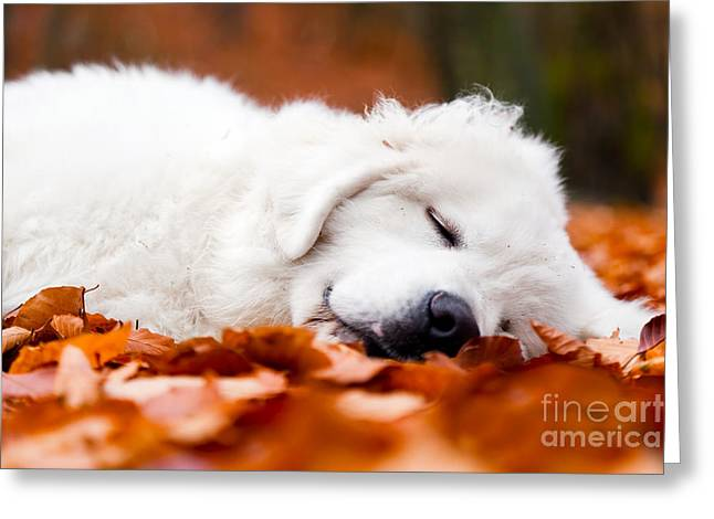 Sleeping Puppies Greeting Cards - Cute white puppy dog sleeping in leaves in autumn forest Greeting Card by Michal Bednarek