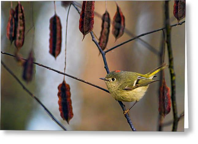 Ruby-crowned Kinglet Birds Greeting Cards - Cuteness Greeting Card by Gary Holmes