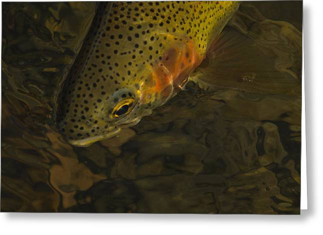 Catch And Release Greeting Cards - Cuttbow Greeting Card by Ron White