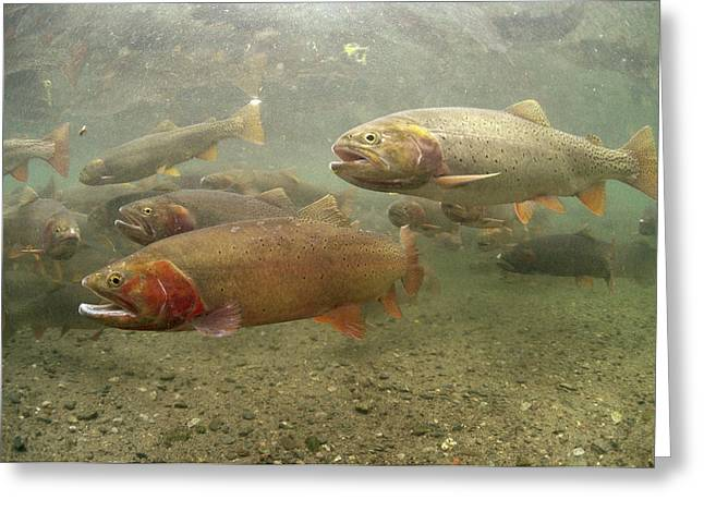 Underwater Photos Greeting Cards - Cutthroat Trout In The Spring Idaho Greeting Card by Michael Quinton