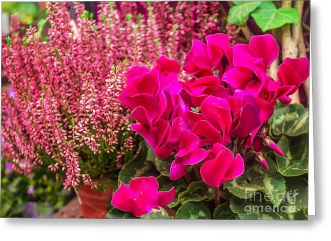 cyclamen flower Greeting Card by Dragomir Nikolov