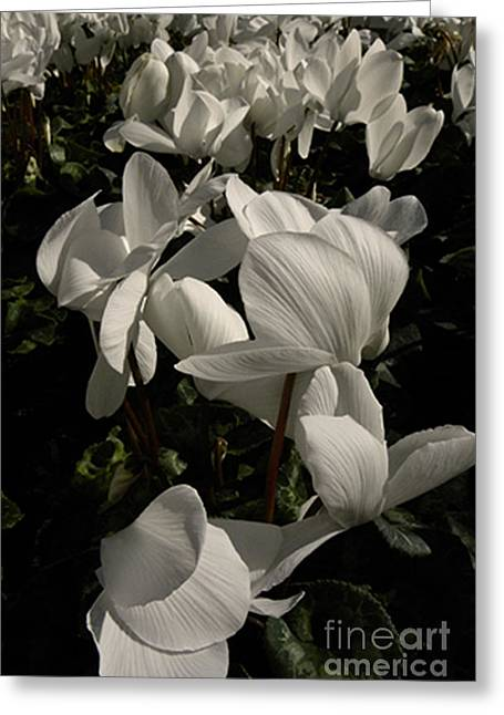 Union Square Greeting Cards - Cyclamen Flowers Greeting Card by Ron Sanford