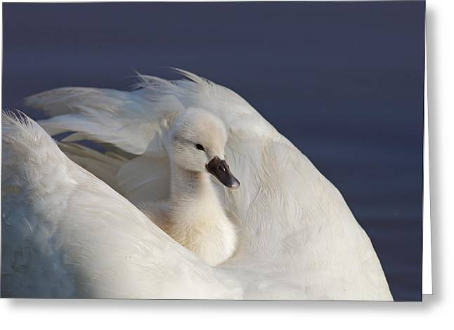 Jim Nelson Greeting Cards - Cygnet Greeting Card by Jim Nelson