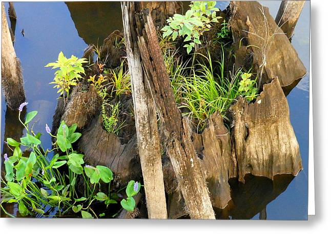 Cypress Knee Greeting Card by Kay Gilley